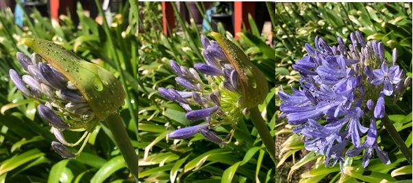 Three photos of a flower blooming